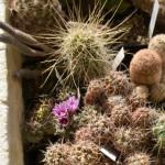 Zbirka kaktusov in sočnic Zanovello Italija