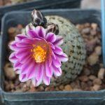 Primož Komel: Izlet kaktusarjev v Italijo 2016 (obisk zbirk kaktusov Panarotto, Zanovello ter vrtnarskega sejma Ortogiardino 2016 v Pordenonu in obiski nekaterih zanimivih tropskih rastlinjakov (predavanje – april 2016).