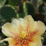 Zvone Rovšek: Prezimni kaktusi (predavanje – marec 2015).