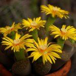 Živi kamenčki in kaktusi v moji zbirki